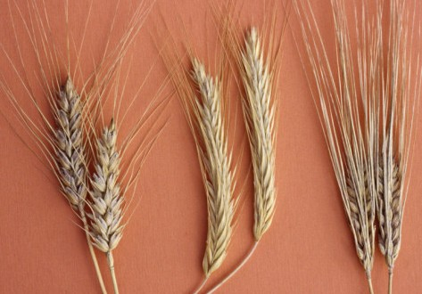 robert-calentine-cereal-grains-left-to-right-wheat-rye-and-barley[1]